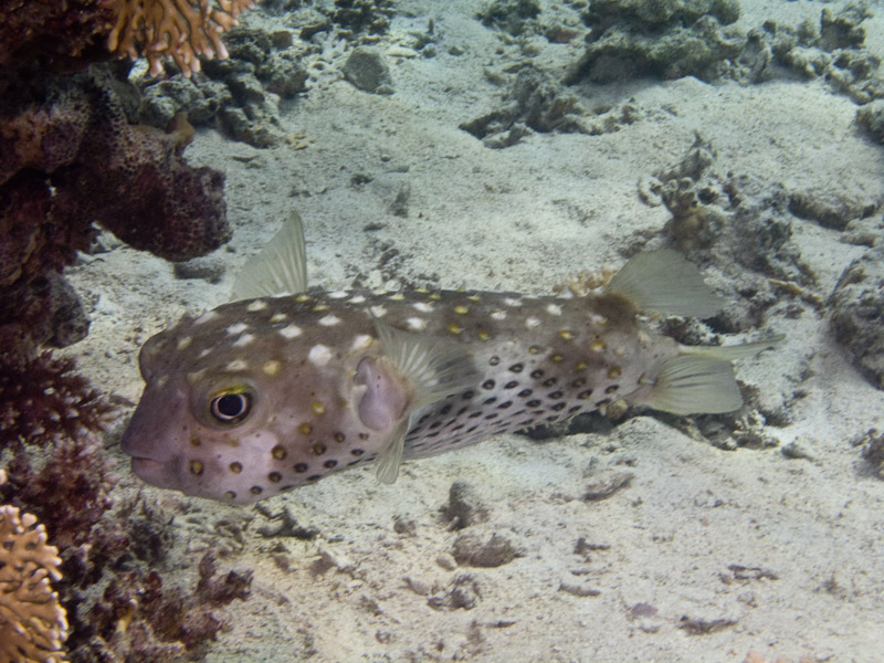 Photo at Ras Caty:  Spotbase burrfish