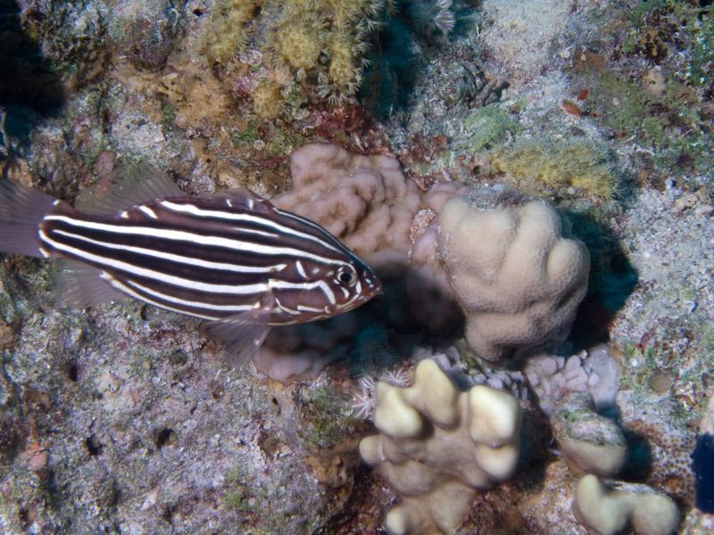 Photo at Ras Caty corner:  Sixline soapfish