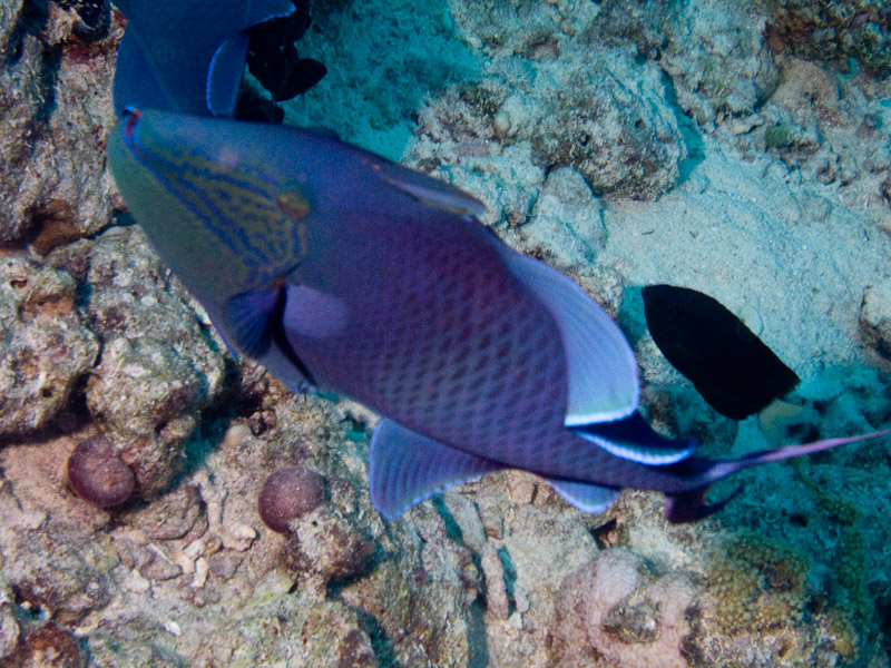 Photo at Ras Caty corner:  Redtoothed triggerfish