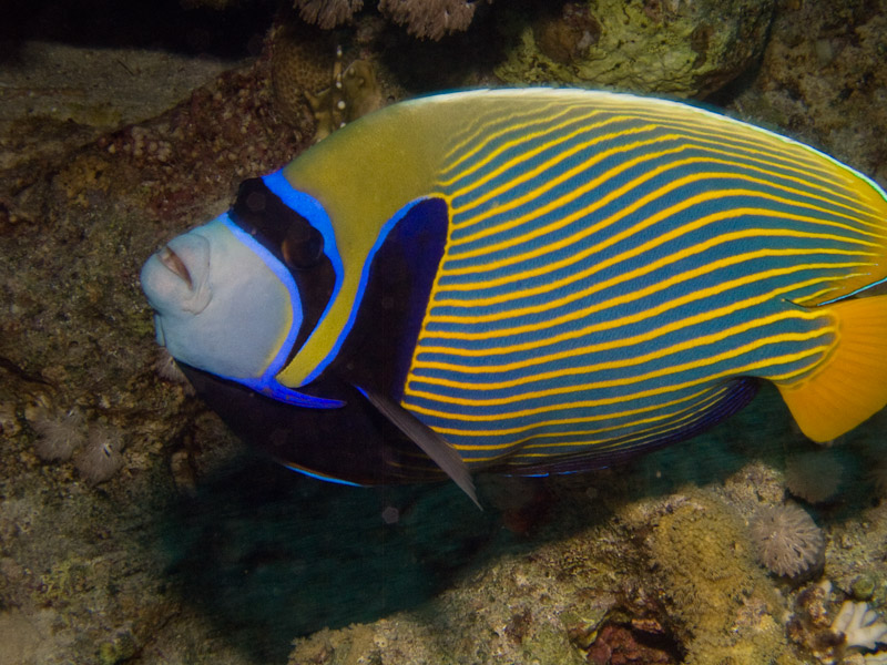Photo at Ras Caty corner:  Emperor Angelfish