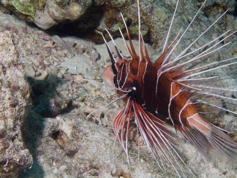 Photo at Ras Caty corner:  Radial firefish