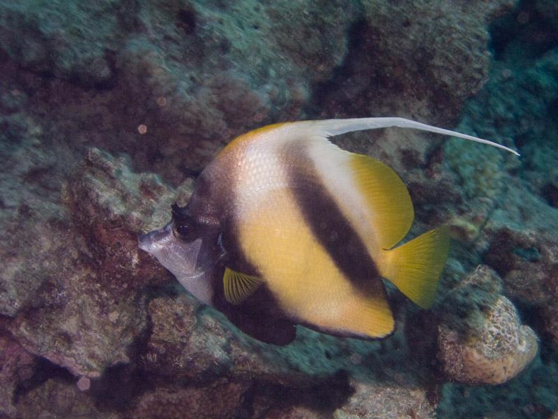 Photo at Ras Caty corner:  Red Sea bannerfish