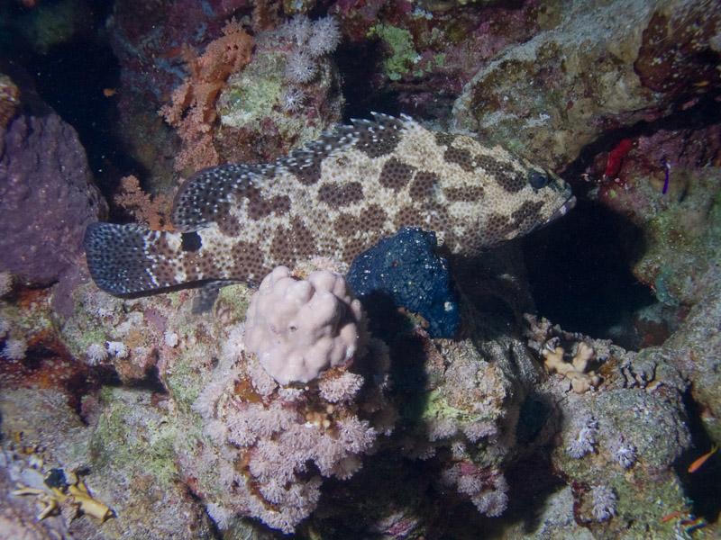 Photo at Jackson Reef:  Potato grouper