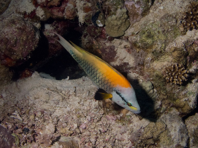 Photo at Jackson Reef:  Slingjaw wrasse