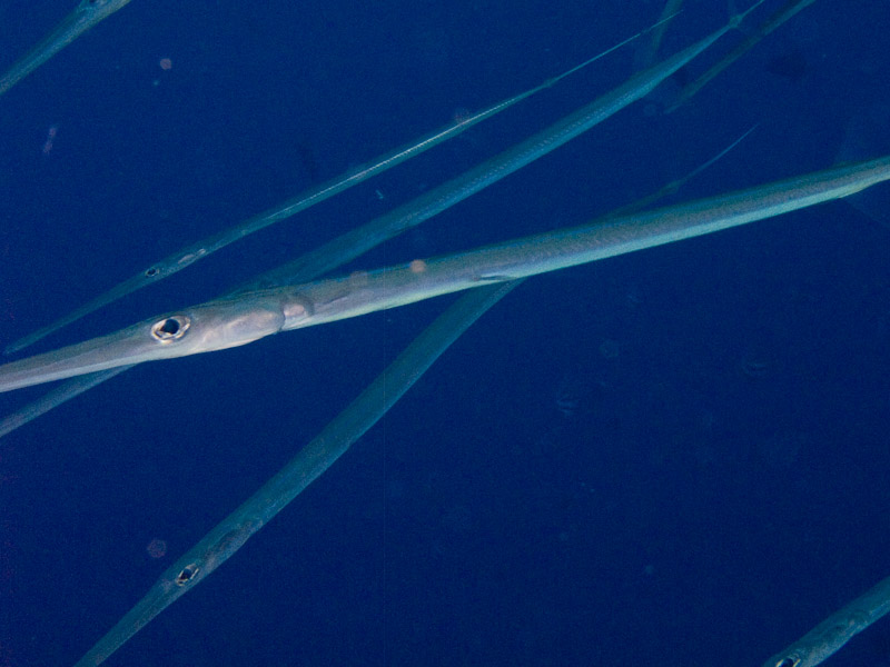 Photo at Jackson Reef:  Bluespotted cornetfish