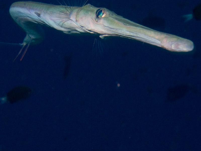 Photo at Jackson Reef:  Bluespotted cornetfish