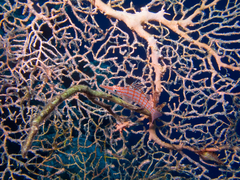Photo at Jackson Reef:  Longnose hawkfish