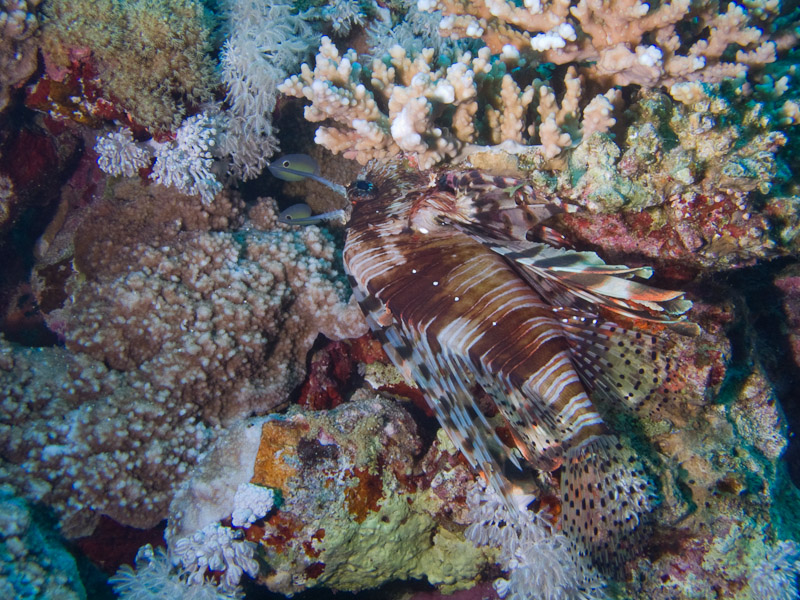 Photo at Jackson Reef:  Devil firefish