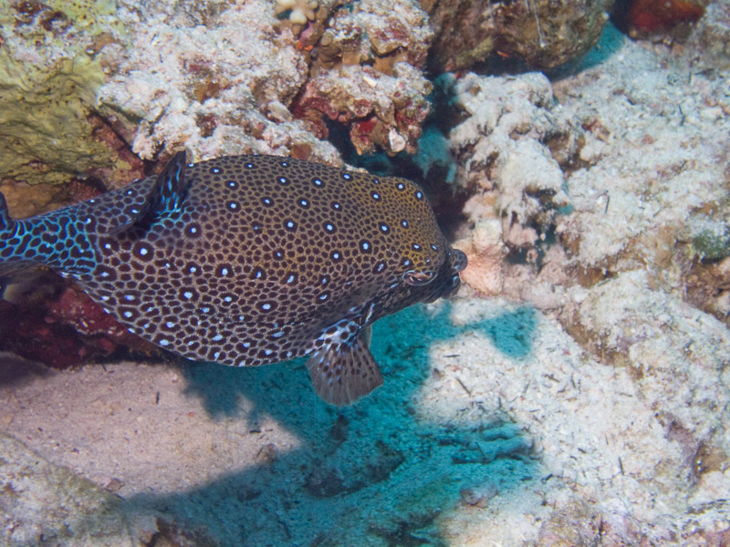 Photo at Jackson Reef:  Yellow boxfish