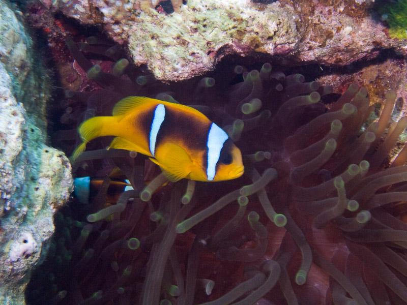 Photo at Jackson Reef:  Twoband anemonefish