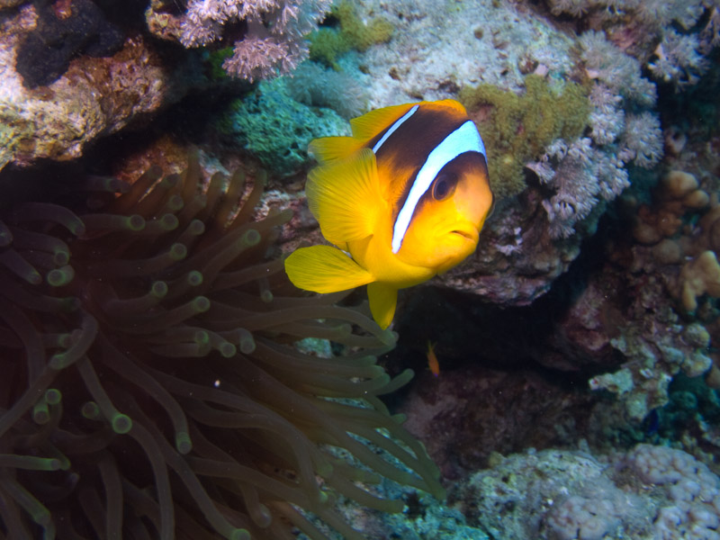 Photo at Jackson Reef:  Twoband anemonefish