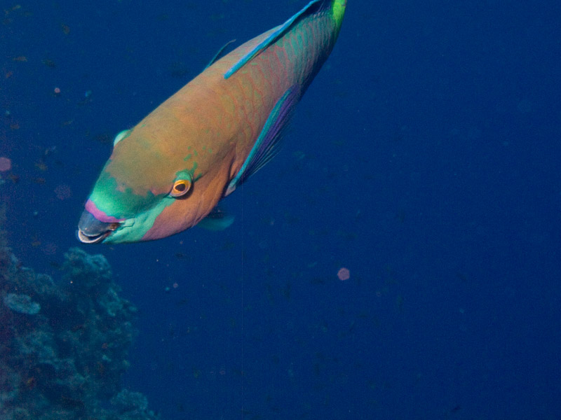 Photo at Jackson Reef:  Rusty parrotfish