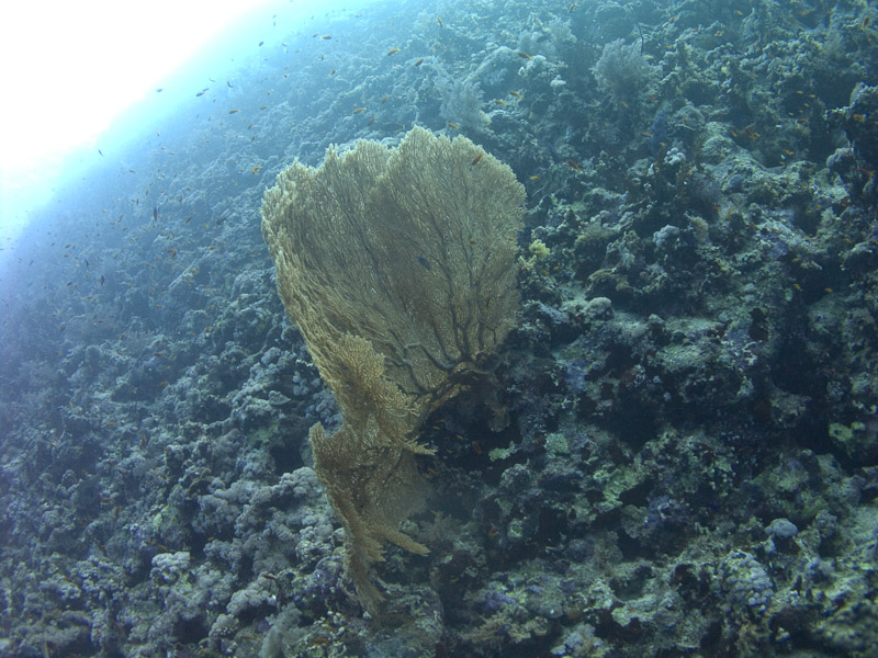 Photo at Thomas Reef:  Gorgonian Sea Fan