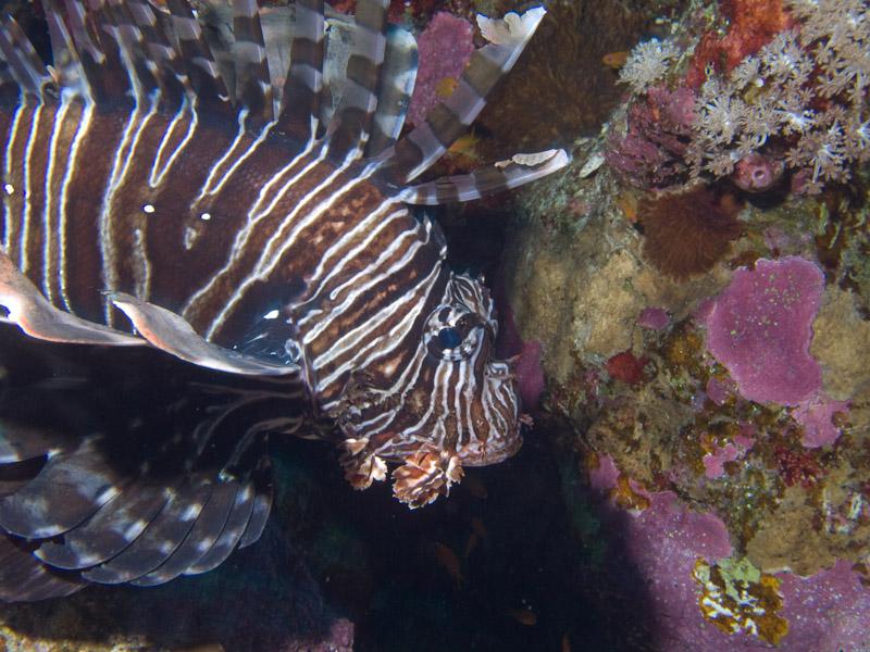 Photo at Thomas Reef:  Devil firefish