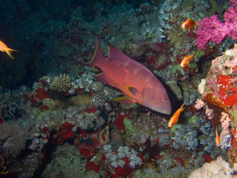 Photo at Shark & Yolanda Reefs:  Yellow-edged lyretail