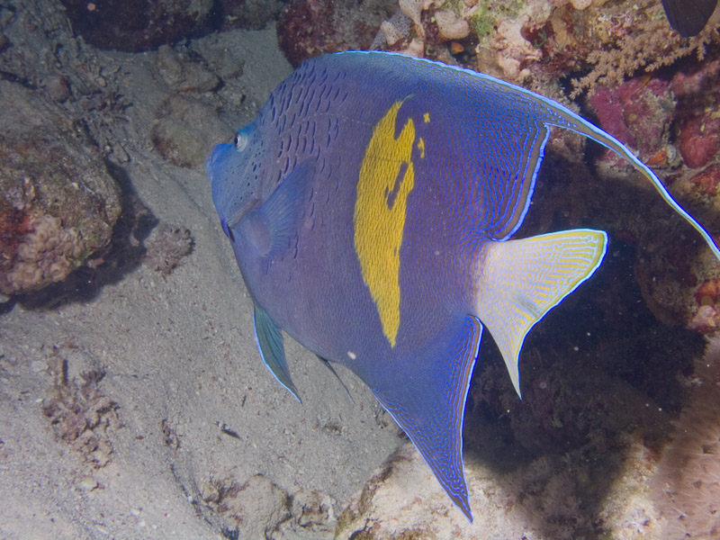Photo at Shark & Yolanda Reefs:  Yellowbar angelfish
