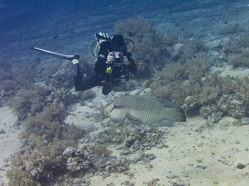 Photo at Shark & Yolanda Reefs:  Humphead wrasse
