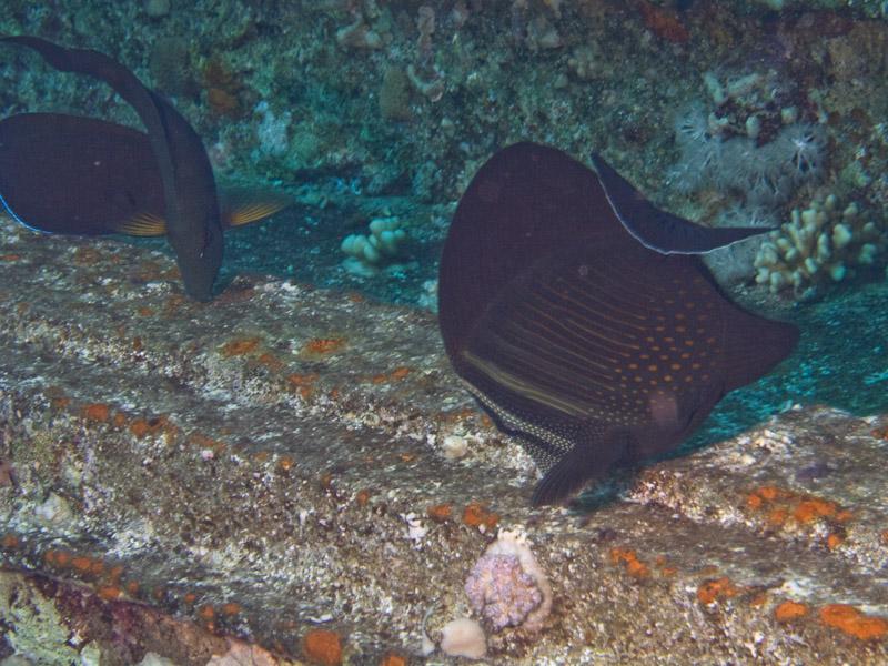 Photo at Shark & Yolanda Reefs:  Sailfin tang