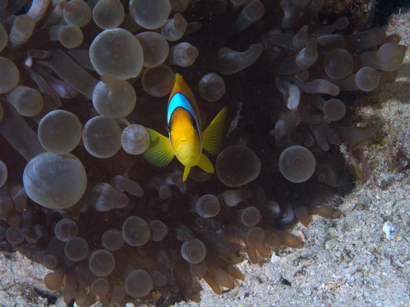 Photo at Shark & Yolanda Reefs:  Twoband anemonefish