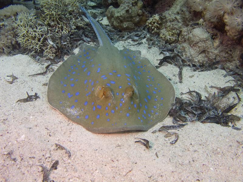Photo at Shark & Yolanda Reefs:  Bluespotted ribbontail ray