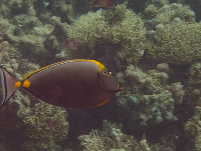 Photo at Shark & Yolanda Reefs:  Elegant unicornfish