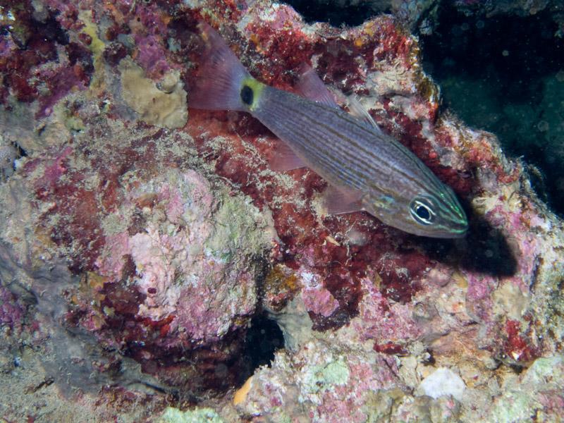 Photo at Dunraven:  Aquaba cardinalfish