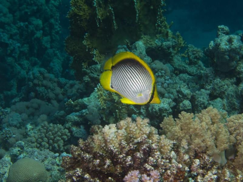 Photo at Dunraven:  Blackback butterflyfish