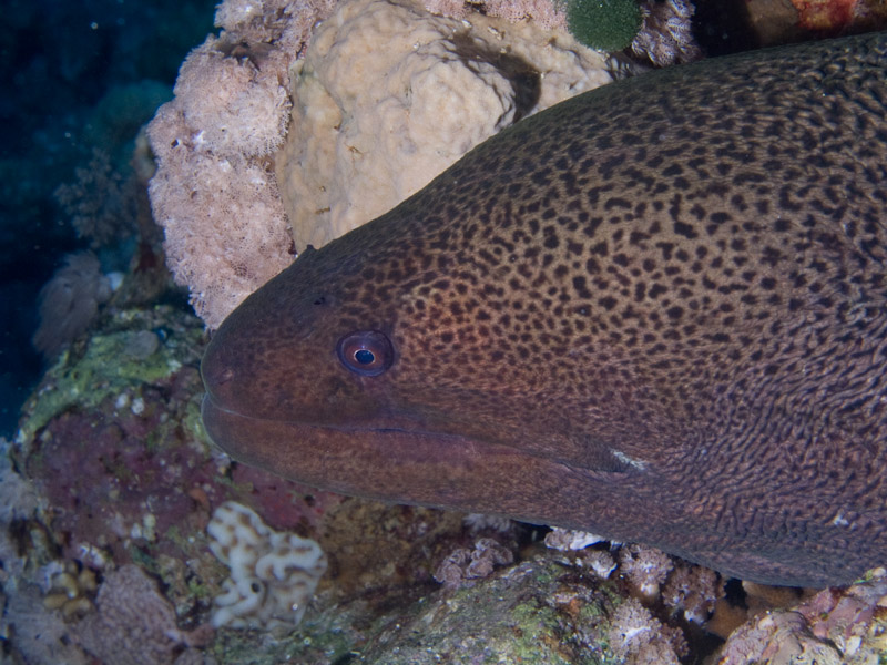 Photo at Jackfish Alley:  Giant moray