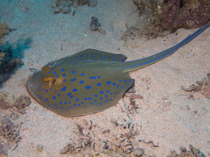 Photo at Jackfish Alley:  Bluespotted ribbontail ray