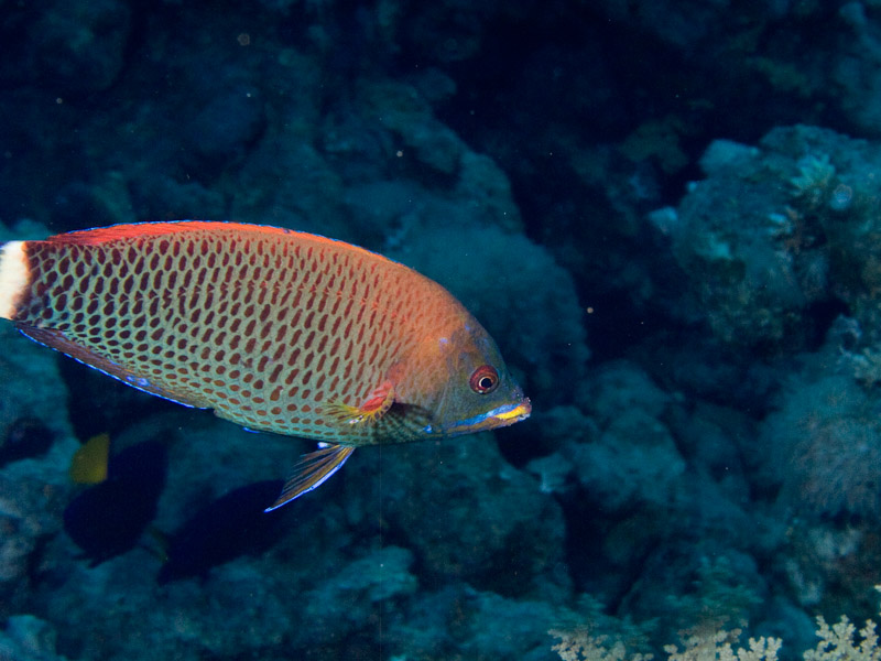 Photo at Jackfish Alley:  Chiseltooth wrasse