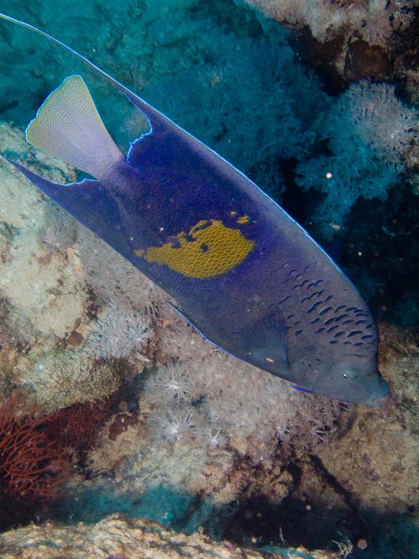 Photo at White Knight:  Yellowbar angelfish