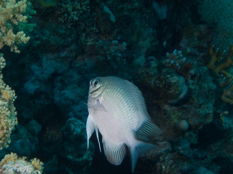 Photo at White Knight:  Pale Damselfish