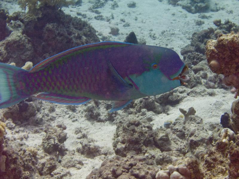 Photo at White Knight:  Heavybeak parrotfish