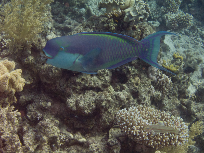 Photo at White Knight:  Heavybeak parrotfish