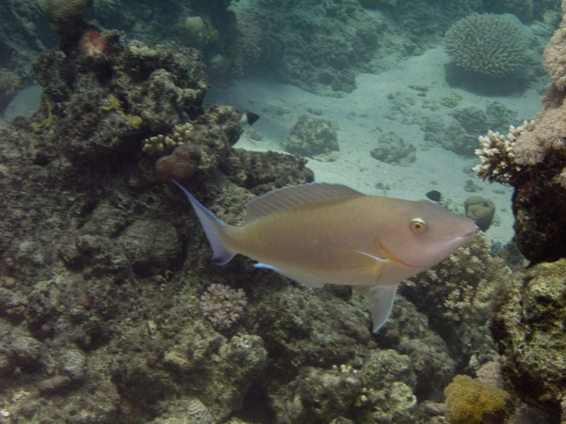 Photo at White Knight:  Candelamoa parrotfish