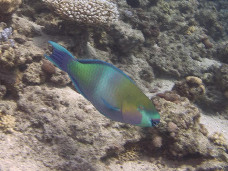 Photo at White Knight:  Rusty parrotfish