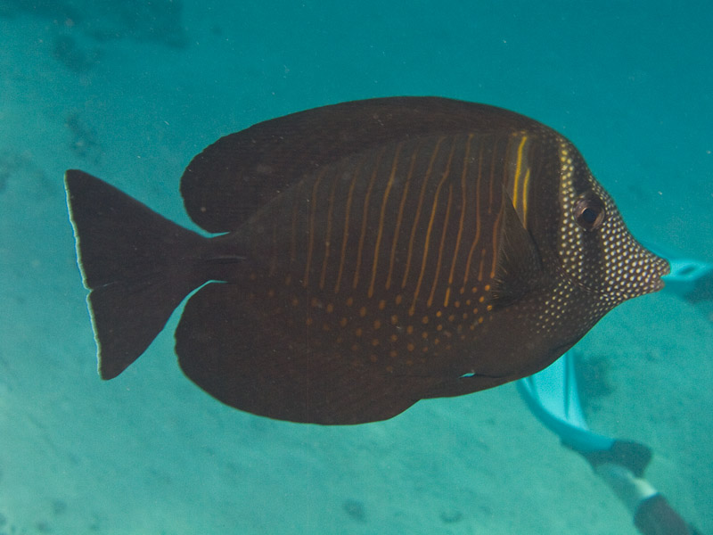Photo at White Knight:  Sailfin tang