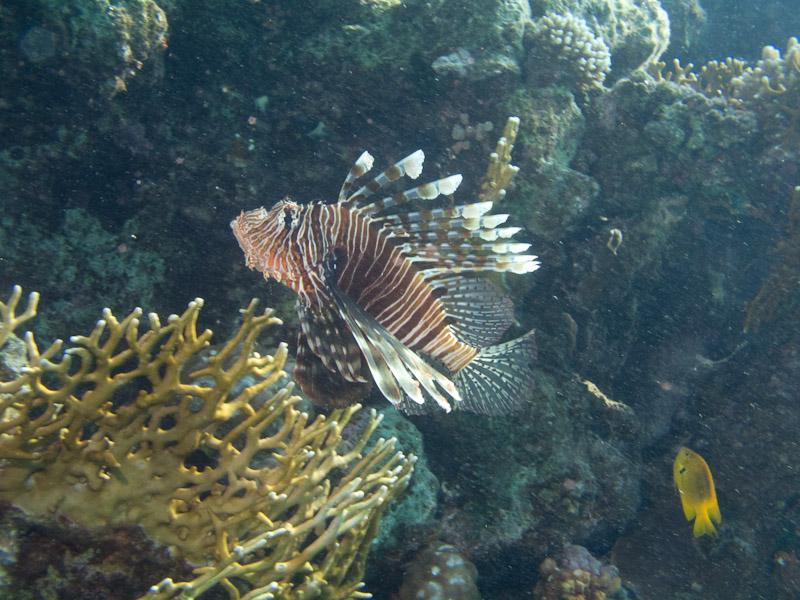 Photo at White Knight:  Devil firefish