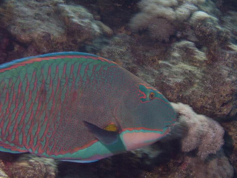 Photo at White Knight:  Bicolour parrotfish