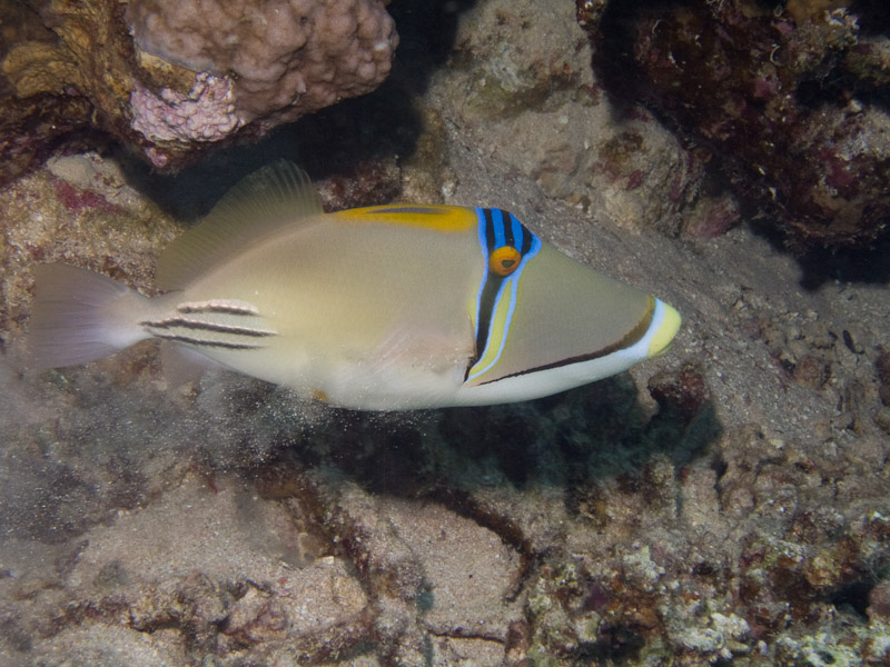 Photo at White Knight:  Picasso triggerfish