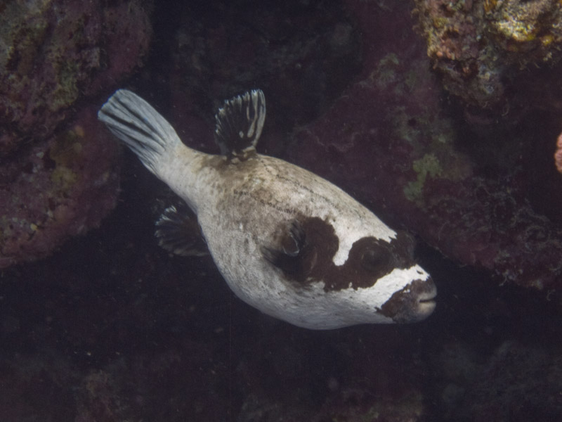 Photo at White Knight:  Masked puffer