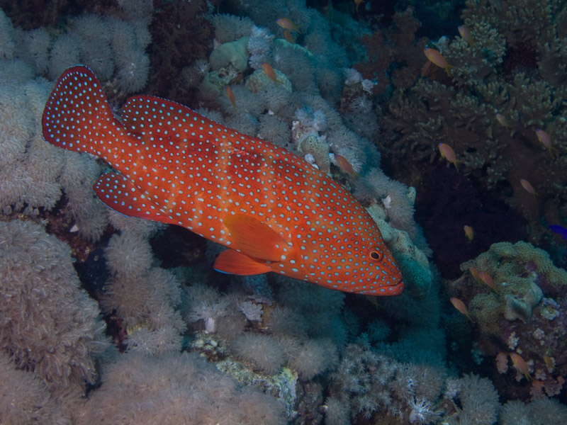 Photo at Ras Nasrani:  Coral hind