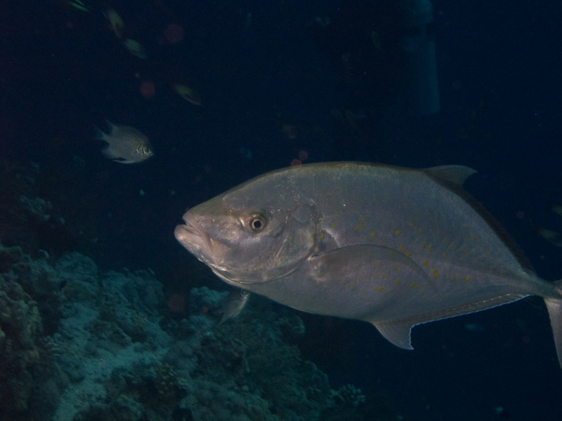 Photo at Ras Nasrani:  Orangespotted trevally