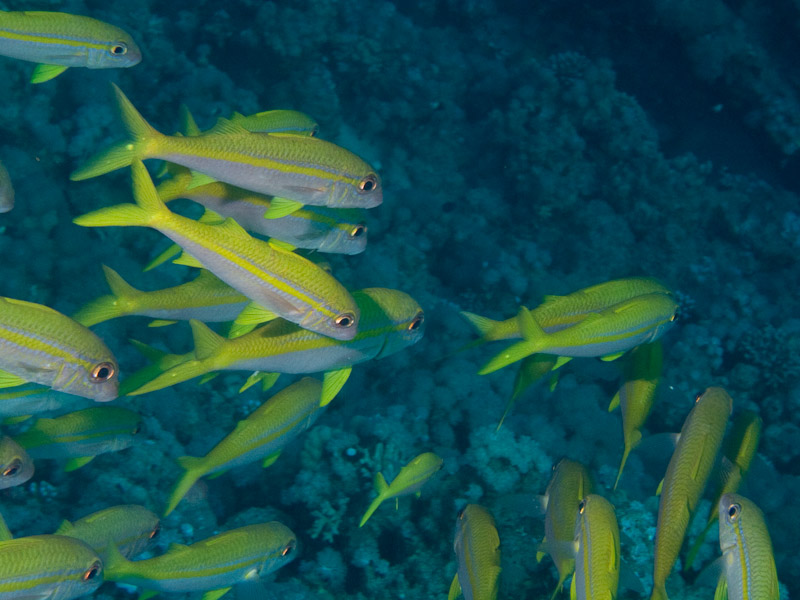 Photo at Ras Nasrani:  Yellowfin goatfish