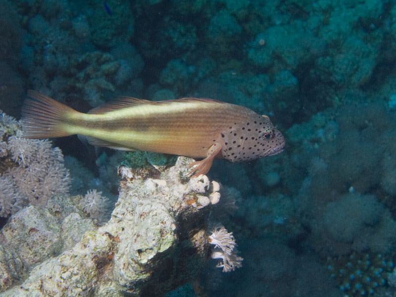 Photo at Ras Nasrani:  Blackside hawkfish