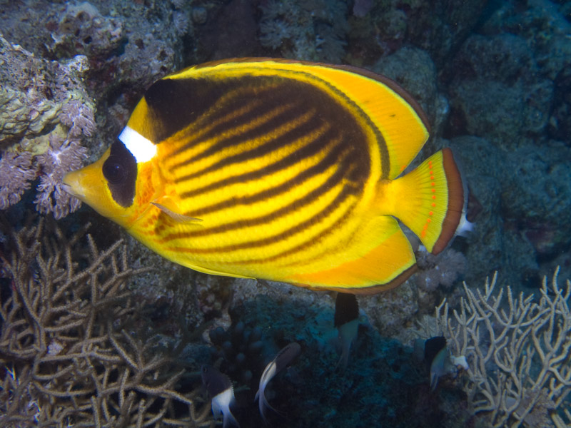 Photo at Ras Nasrani:  Diagonal butterflyfish