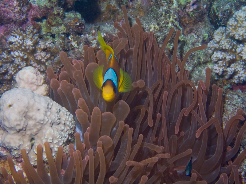 Photo at Ras Nasrani:  Twoband anemonefish