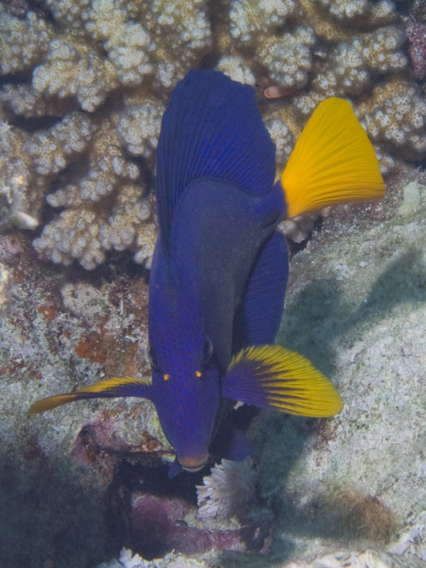 Photo at Ras Nasrani:  Yellowtail tang