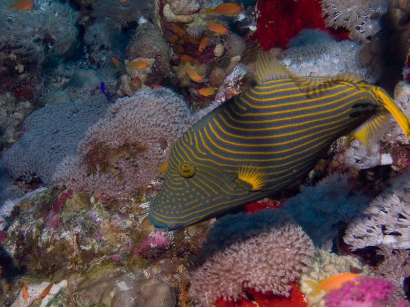 Photo at Shark & Yolanda Reefs:  Orange-lined triggerfish