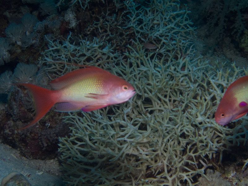 Photo at Shark & Yolanda Reefs:  Sea goldie